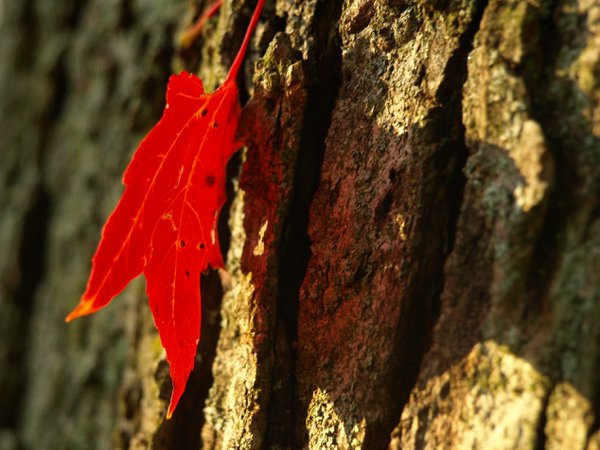 Red Maple leaf with hieart-shaped shadow on bark thumbnail