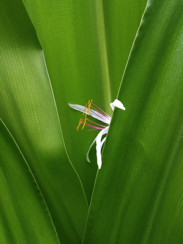 White Spider Lily  thumbnail