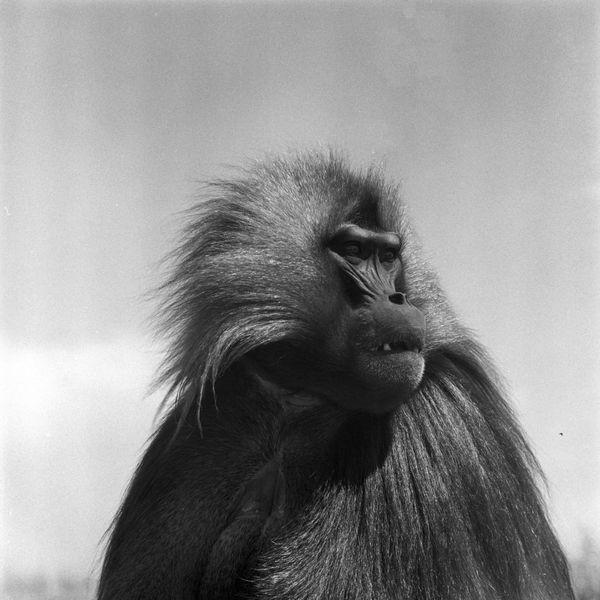 Gelada Monkey thumbnail