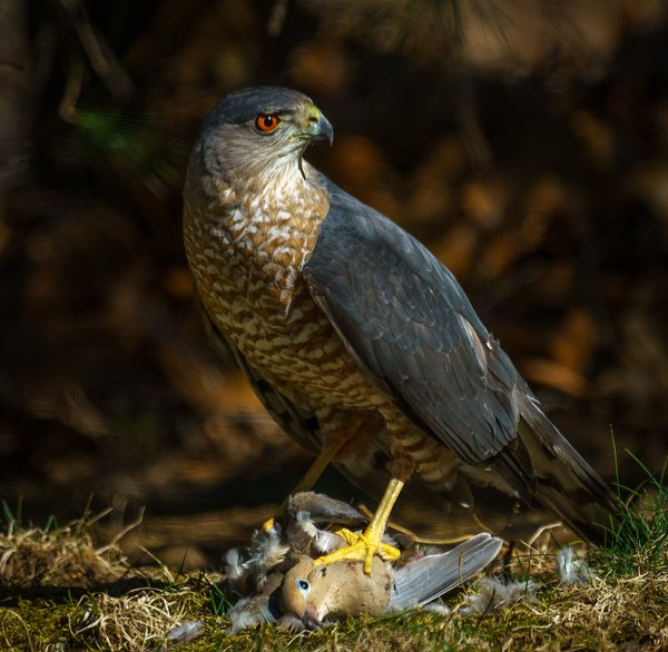 Coopers Hawk dinner time thumbnail