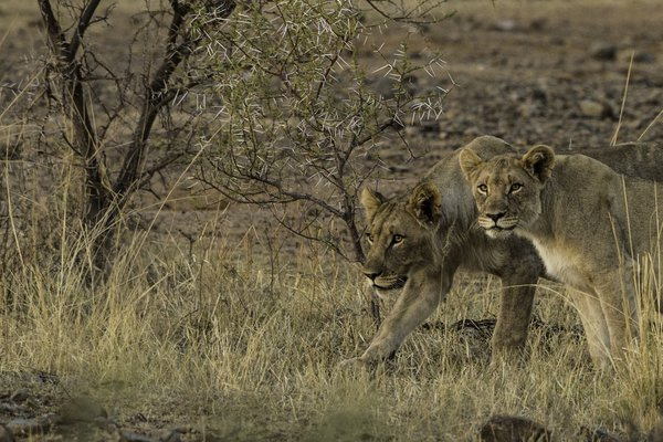 South African Lions in Pilanesberg National Park thumbnail