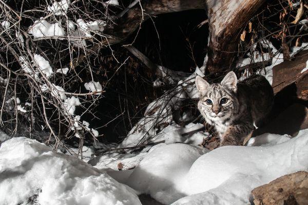 Curious bobcat thumbnail