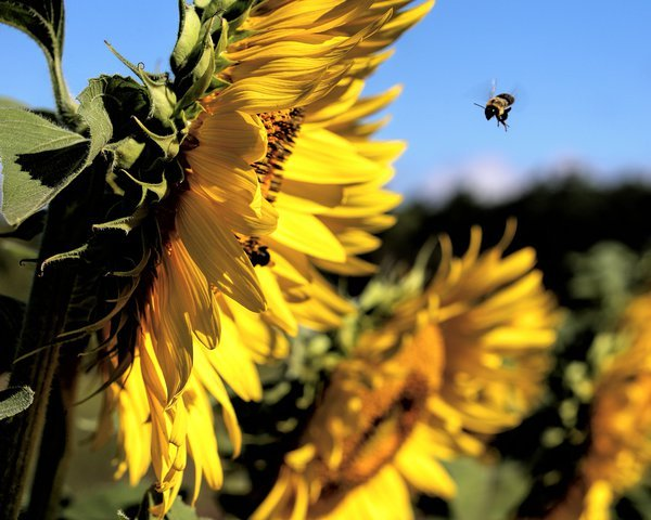 Sunflower and Bee in flight thumbnail