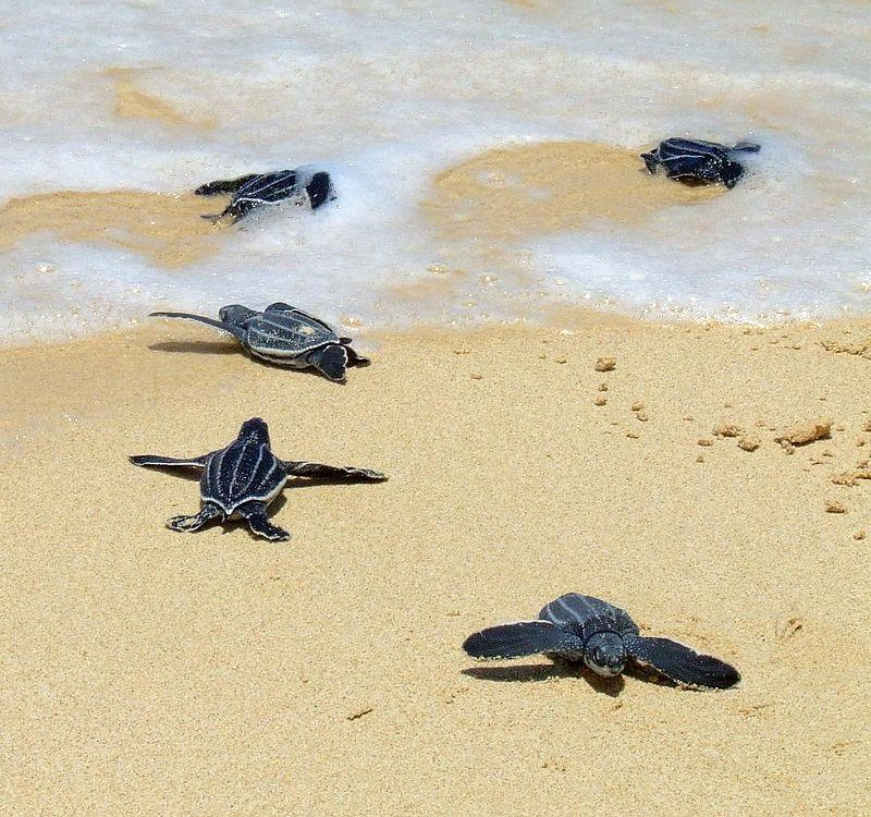 Leatherbacks_crawling_to_the_sea.jpg