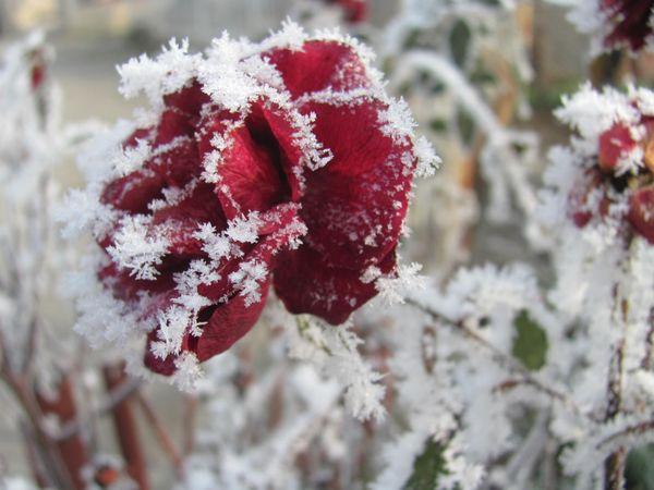 roses in my garden thumbnail