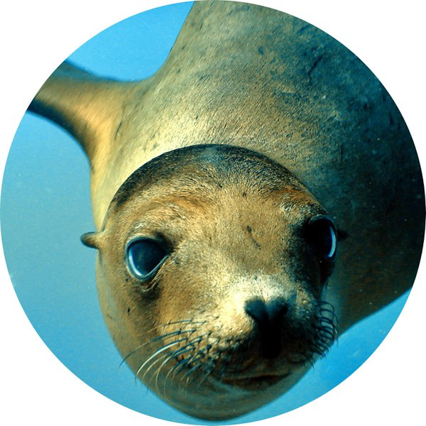 No Social Distancing for Sea Lions thumbnail