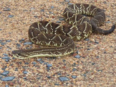 The neotropical rattlesnake, Crotalus durissus, inhabits at least 11 South American countries. This species of viper is widespread and thrives in dry climates.