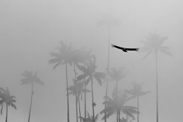 Condor in Cocora park thumbnail