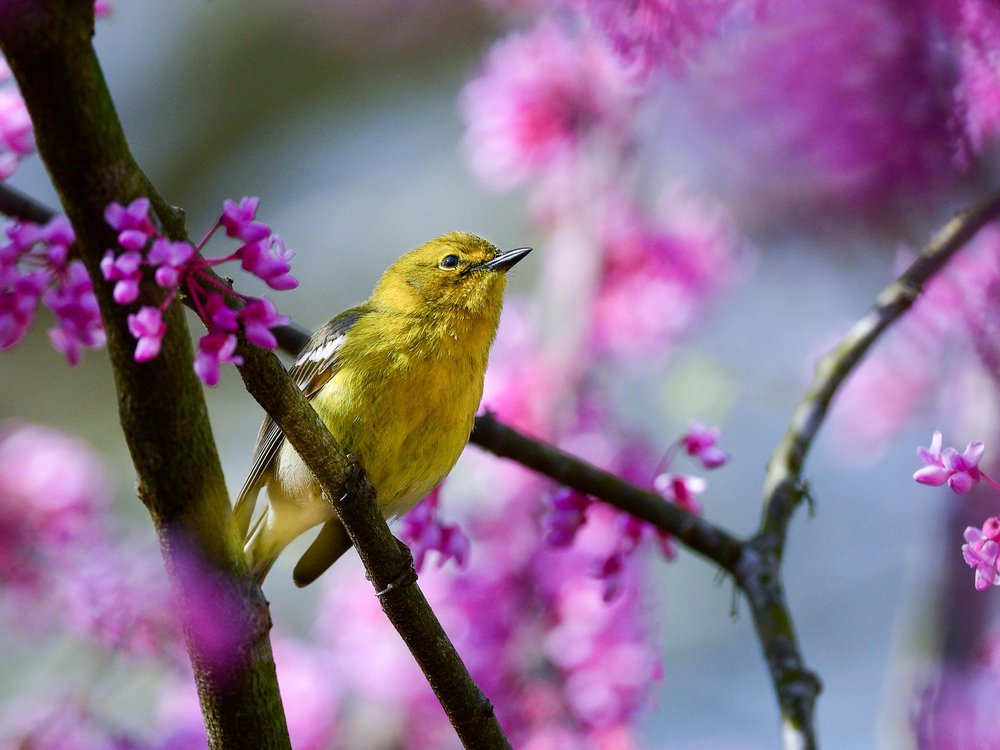A male pine warbler perched in a redbud tree.