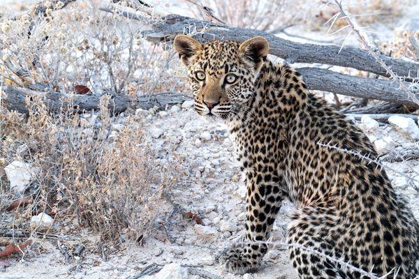 Leopard Cub thumbnail