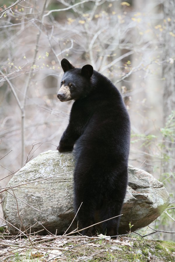 Wild Black Bear Yearling in Ontario, Canada. thumbnail