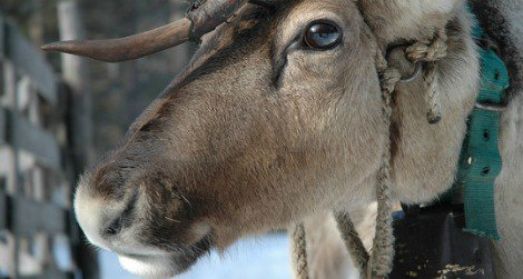Reindeer have a few strategies for keeping cool (courtesy of flickr user much ado about nothing