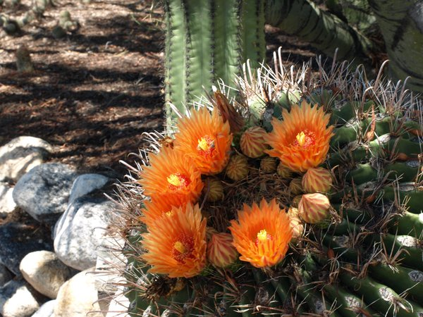 Barrel Cactus with Six Flowers and with Saguaro in the background thumbnail