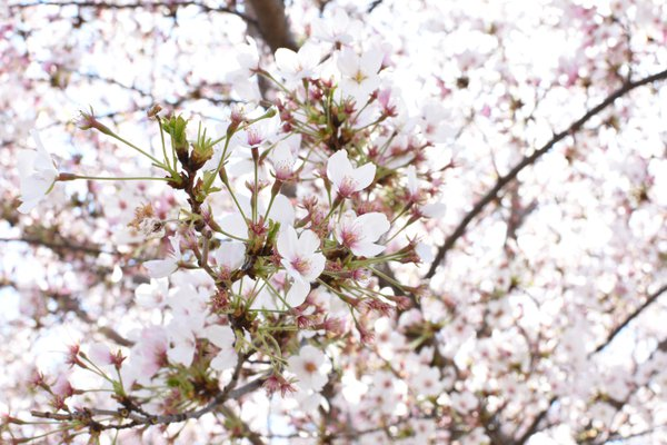 Cherry Blossom Festival thumbnail