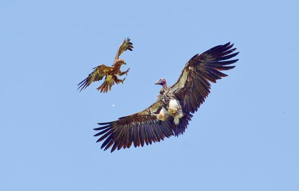 Eagle vs Vulture thumbnail