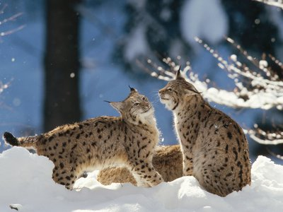 Eurasian lynx playing in the snow in Germany.