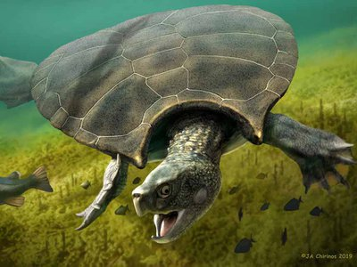This is a graphic reconstruction of a male Stupendemys geographicus swimming in freshwater.