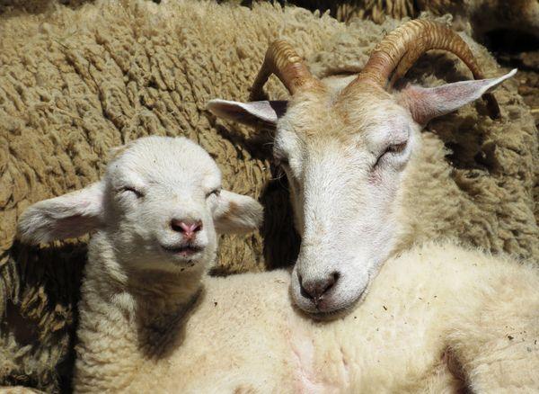 Peaceful Sheep thumbnail