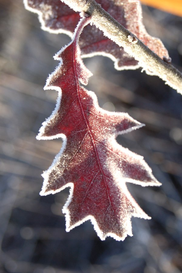 frosted leaf thumbnail