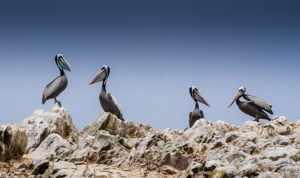 A small group of pelicans resting while we are passing by thumbnail