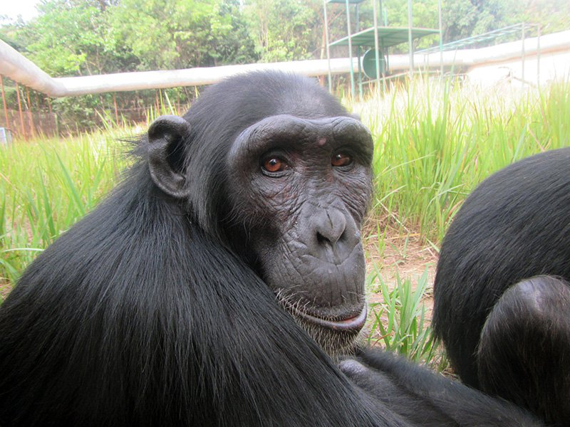 How Researchers Are Protecting Great Apes From Covid-19
