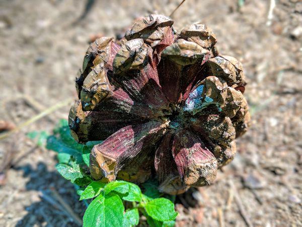 A fallen pine  thumbnail