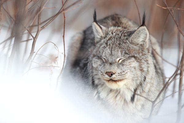 Wild Canada Lynx Sleeping In Ontario, Canada thumbnail