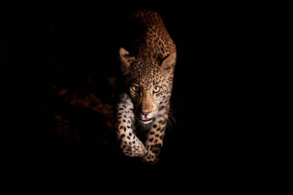 Leopard cub in South Africa emerging from the shadows at night, illuminated by a spotlight.