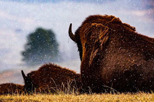 Bison resting in a snowstorm. thumbnail