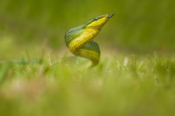 Snake Dancer thumbnail