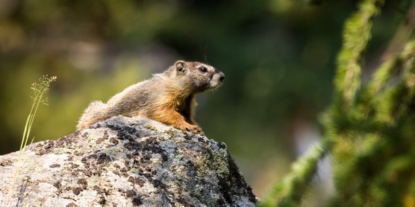 Sunbathing Yellow-bellied Marmot thumbnail