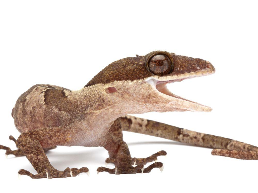 sexy gecko