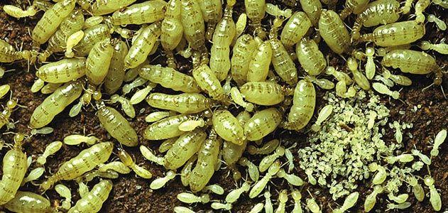 Termite queens