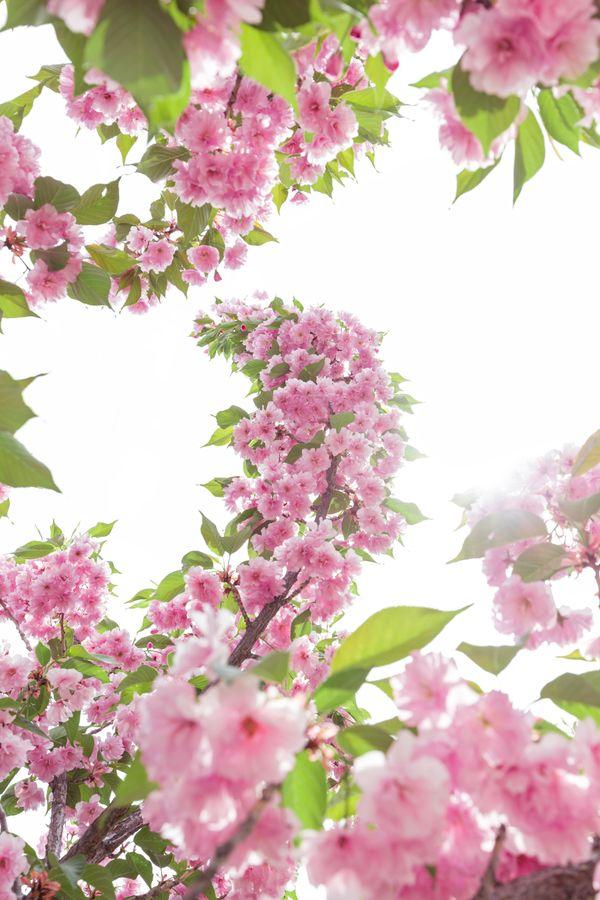 Pink Blooms thumbnail