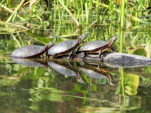 Three painted turtles basking in the sun at Chain O' Lakes State Park in Albion, Indiana. thumbnail