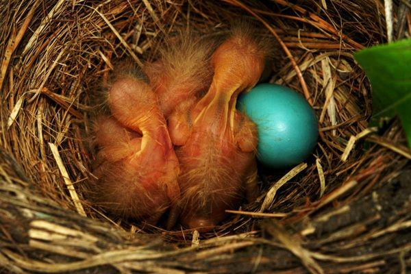Robin Chicks Moment of Birth thumbnail