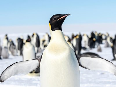 Emperor penguins are the world's largest penguin, standing almost four feet tall and weighing around 88 pounds. They live almost exclusively in Antarctica and need sea ice to survive.