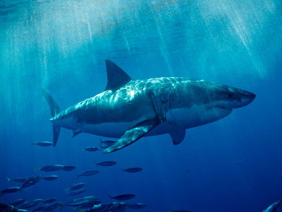 Great white sharks travel hundreds of miles to specific locations in the world's oceans.