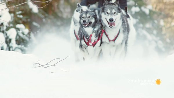 Preview thumbnail for Canadian Inuits Get Their Wilderness Chops From Wolves