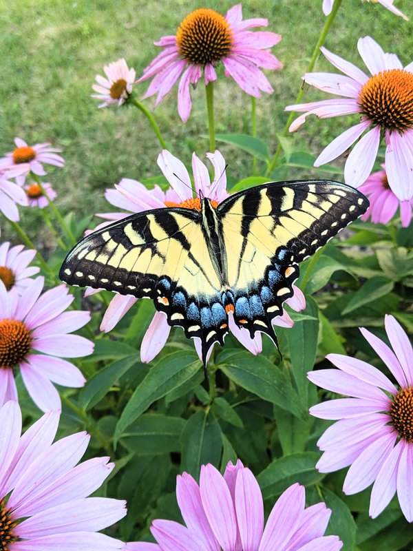 A swallowtail butterfly in the neighborhood. thumbnail