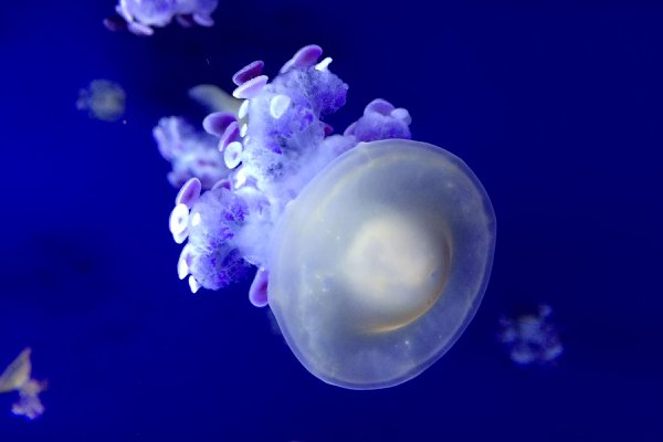 Jellyfish thumbnail