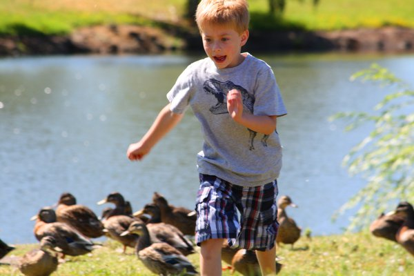 Child Running From Ducks thumbnail
