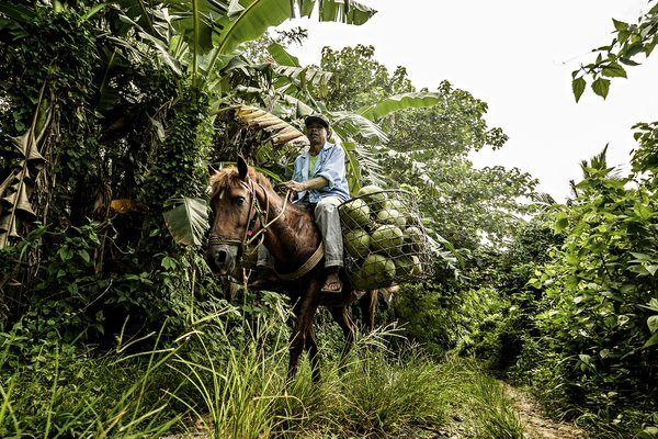 A man riding a horse carrying coconut fruits thumbnail