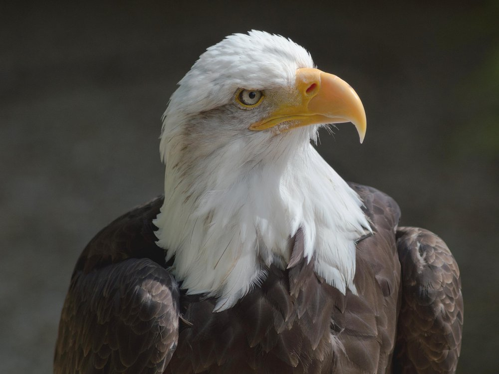 A photo of and eagle looking to the side. It has a white feathered head with a yellow beak and brown feathered body.