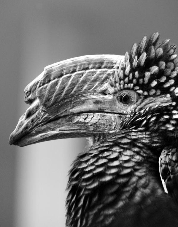 Silvery-Cheeked Hornbill thumbnail