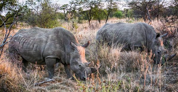 White Rhino Couple thumbnail