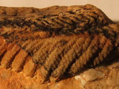 An Ediacaran fossil from the National Earth Science Museum, Namibia.