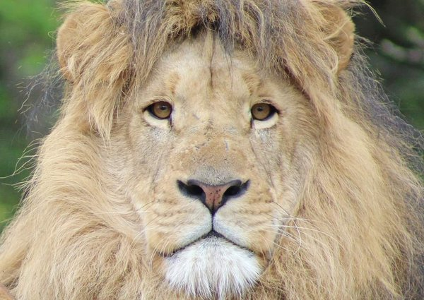 Lion King thumbnail