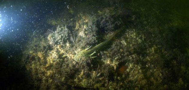 Salamander underwater
