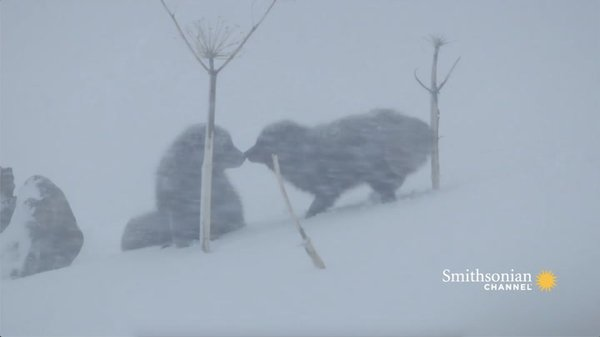 Preview thumbnail for Heartwarming Arctic Fox Couple Reunites in the Freezing Cold